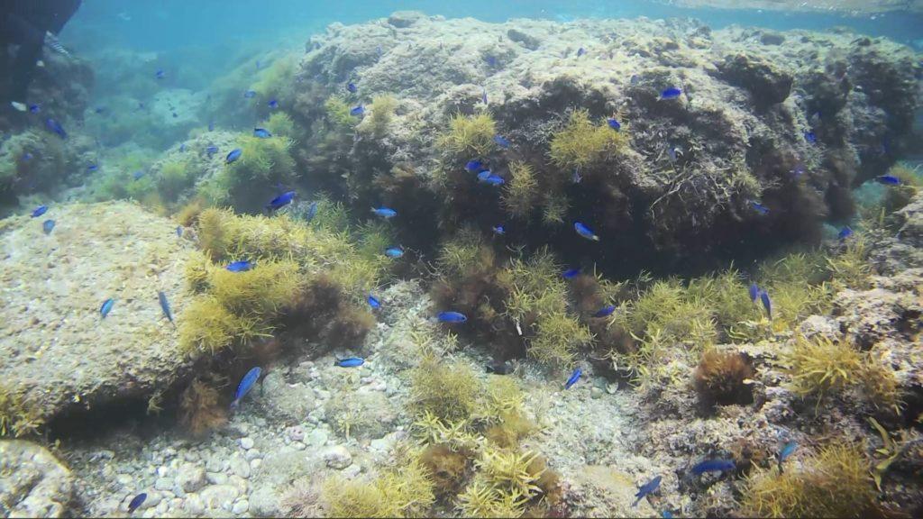 【ヒリゾ浜】浅瀬の魚群