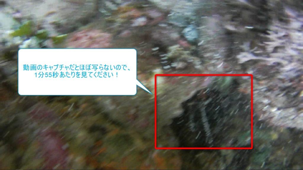 【ヒリゾ浜】岩陰の伊勢海老くん(うっすら)