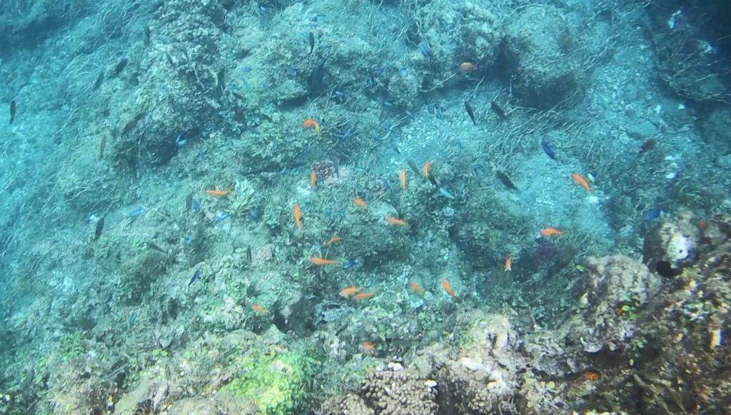 【ヒリゾ浜】浜深めのところの魚群_02